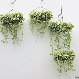 화이트디시디아 디시디아 행잉플랜트 틸란 틸란드시아 공중식물 공기정화식물|Tillandsia