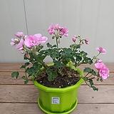 페라고늄 연분홍꽃 칼라포트|