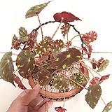 타이거베고니아 행잉토분세트(완성분) Begonia
