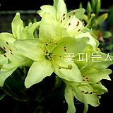 녹화만병초(꽃대풍성)|