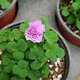 폼폼사랑초(분홍) 장미꽃처럼피는 아이에요|
