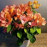 부겐베리아(주황) 꽃이 화려하고 예뼈요|