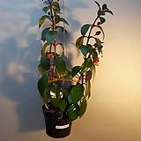 골드피쉬걸이(주황색열매처럼피는 아이에요)|
