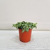휘토니아/공기정화식물/인테리어/온누리 꽃농원|