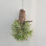 틸란(괴목)/걸이식물/공기정화식물/온누리 꽃농원|