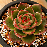 블루드래곤|Echeveria Blue Dragon