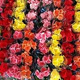 꽃베고니아(소품)|Begonia