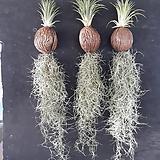 틸란드시아(코코넛)대품/관엽식물/공중식물/나라아트|