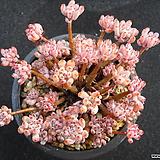 블루빈스1115|Graptopetalum pachyphyllum Bluebean