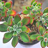 금황성(V014)|Echeveria pulvinata
