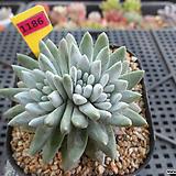 화이트그리니(목대) 자연군생(분채배송)11-1185|Dudleya White gnoma(White greenii / White sprite)