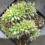 샤치철화19|Echeveria agavoides f.cristata Echeveria