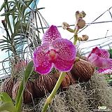 공중식물~반다 (핑크)|