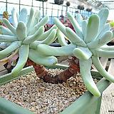 두들레야 파키피덤 (8) (묵은아이)|Dudleya pachyphytum