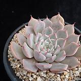 핑크자라고사166 Echeveria mexensis Zaragosa