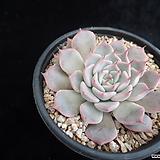 핑크자라고사310 Echeveria mexensis Zaragosa