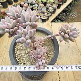 묵은 베이비핑거(군생목대)-373|Pachyphytum Machucae (baby finger)