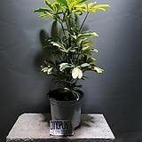 황금무늬홍콩야자/무늬홍콩야자/야자/공룡꽃식물원/50|
