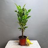크로톤/외콕대/점박이크로톤/공룡꽃식물원/20|Codiaeum Variegatum Blume Var Hookerianum