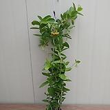 호야 덴싱폴리아/꽃대|Hoya carnosa