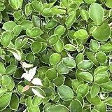 풍성한 호야 넝쿨식물 실내식물 음직식물|Hoya carnosa