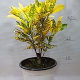 크로톤  중품|Codiaeum Variegatum Blume Var Hookerianum