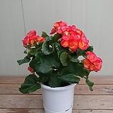 장미베고니아 특대품/보카시|Begonia