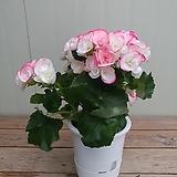 장미베고니아 특대품 연분홍|Begonia