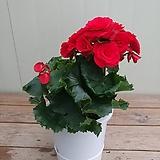 장미베고니아 특대품/레드|Begonia