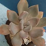 598 석연화|Pachyveria Pachyphytodies