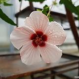 꽃부용|Echeveria Pulv-oliver