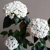 히말라야분꽃|