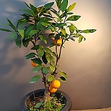 열매가 있는귤나무(한목대) 과실수 (봄이면 꽃도피고  열매도 맺어요)|