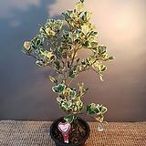 한목대하트고무나무( 싱싱해요) 새로입고|Ficus elastica