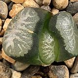 설산만상 47-21|Haworthia maughanii