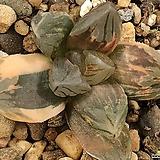 대창흑옵투사금 47-26|Haworthia cymbiformis var. obtusa