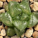 옵투사교배종 47-29|Haworthia cymbiformis var. obtusa