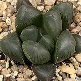대창블랙옵투사 48-31|Haworthia cymbiformis var. obtusa