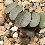 무문렌즈옥선 48-34|Haworthia truncata