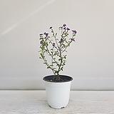 브로왈리아/공기정화식물/인테리어/온누리 꽃농원|