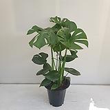 몬스테라/공기정화식물/인테리어/온누리 꽃농원|