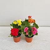 꽃베고니아/공기정화식물/온누리 꽃농원|Begonia