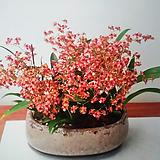 환타지아.향천(쵸코렛향).쵸코색.향이 진짜 좋습니다.꽃대있습니다. Echeveria Fantasia Clair