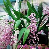환타지아.오니토린컴.향천(쵸코렛향).예쁜핑크색.향이 진짜 좋습니다.꽃대있습니다. Echeveria Fantasia Clair