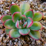 황홀한연꽃금202|Echeveria pulidonis