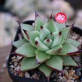 세잎원종에보니|Echeveria Agavoides Ebony