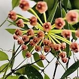 호야2|Hoya carnosa