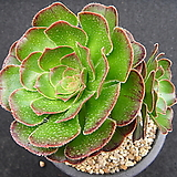 달마법사1116|Eonium arboreum var. rubrolineatum