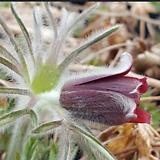 할미꽃(5포트) 