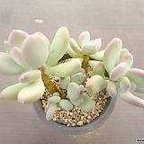 이미인 18-275 Pchyphytum oviferum mikadukibijin